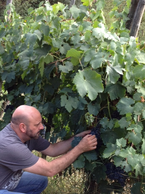 Picking Grapes in Pavullo